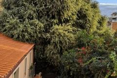 L'alzina vista des de la casa del davant del carrer Manrique de Lara.